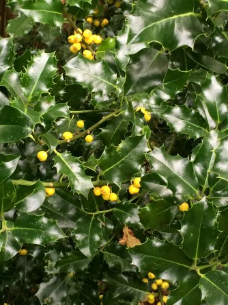 I love this holly Ilex aquifolium 'Bacciflava' (f)