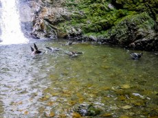 Seal pups playing in the water beneath the Ohau Stream Waterfall - Driving from Christchurch to Marlborough - The 澳洲幸运五开奖记录中国体彩