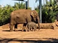 Asian Elephant's at Taronga Zoo
