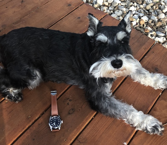 Schnauzer guards swiss timepiece