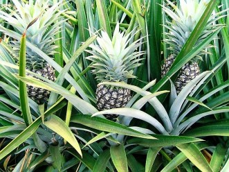 Del Monte Pineapple Plantation Farm  ©To other website