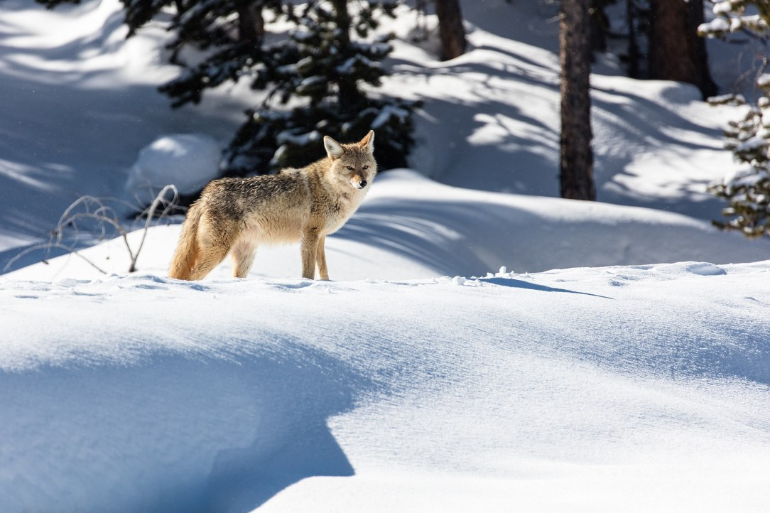 How to deal with nuisance coyotes
