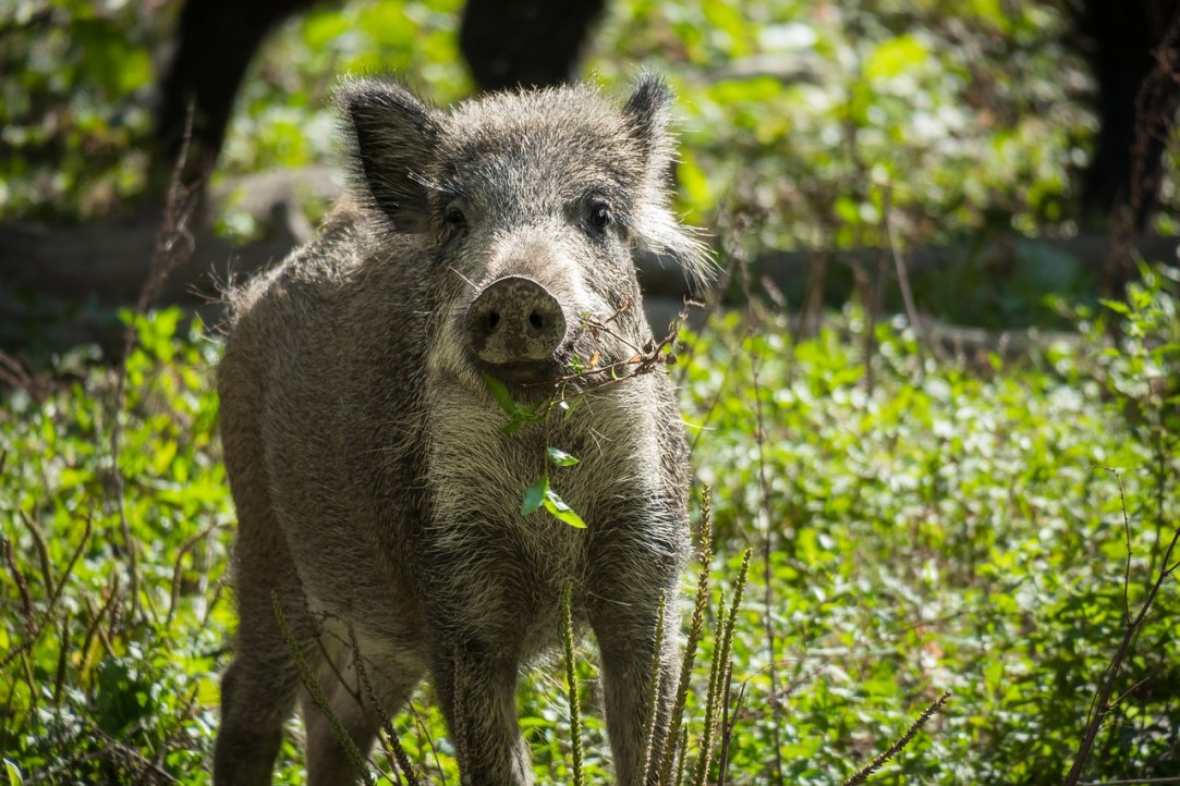 How hunters can help solve the feral hog problem