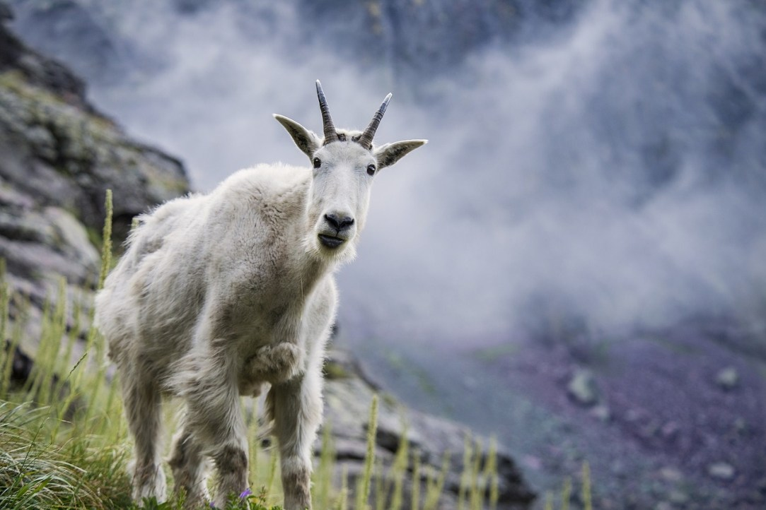 Into thin air: A beginner's guide to mountain goat hunting