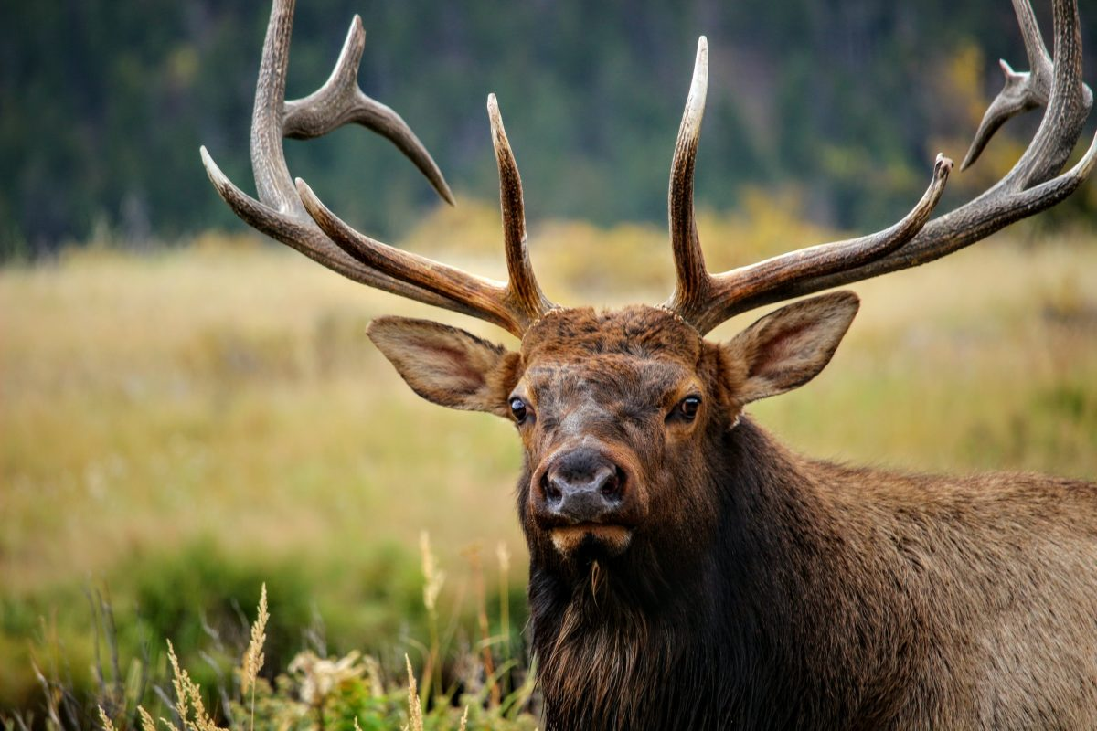 Talking bull: How to get started elk calling