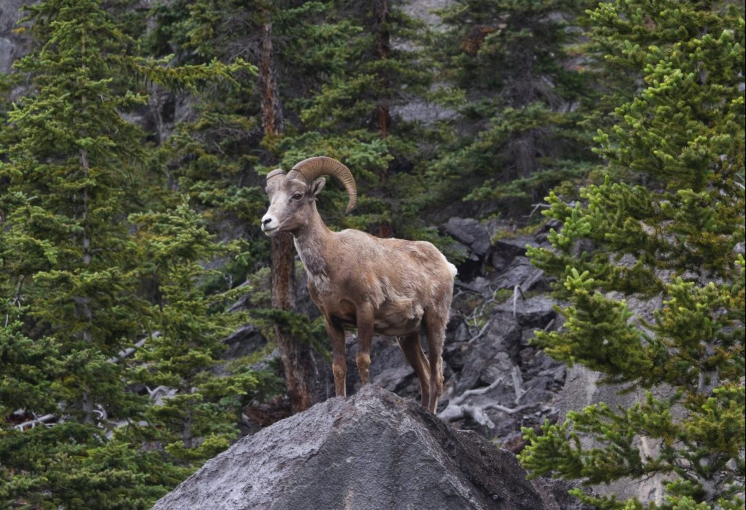 Wild sheep: North America's ultimate big game challenge