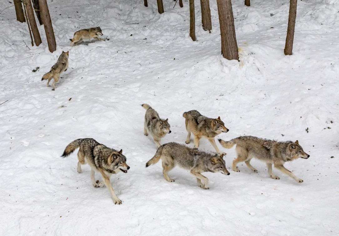 The Wisconsin wolf hunt: Huge success or foreboding harbinger?