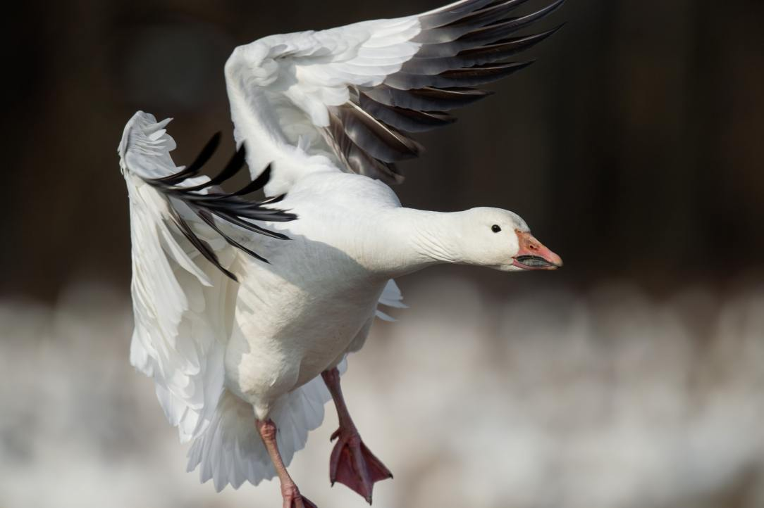 Let it snow: Capitalizing on the spring snow goose migration