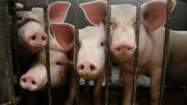 cochon-industrie-2