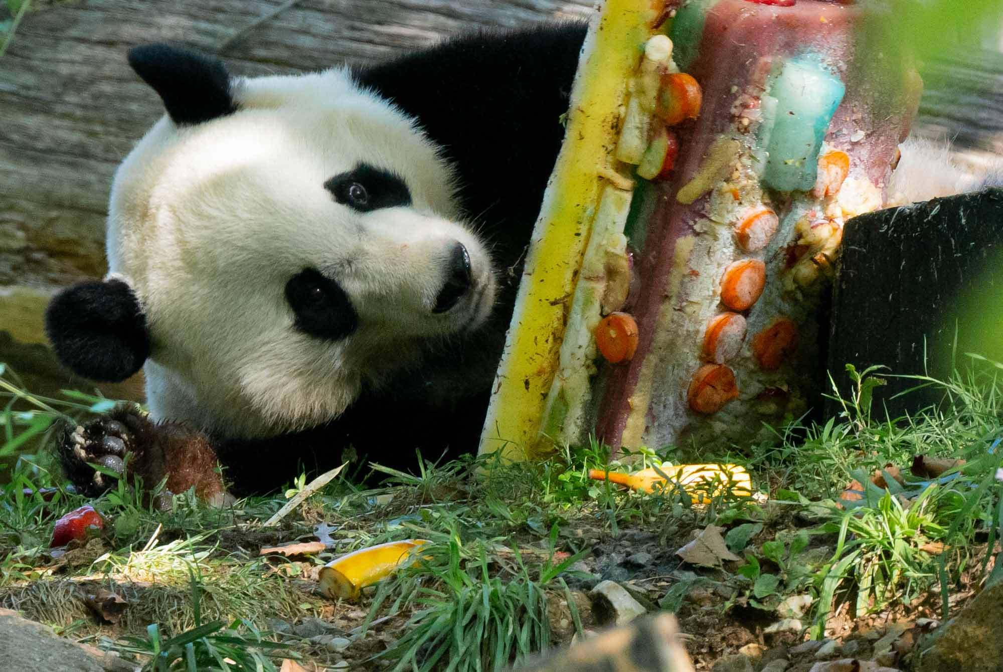 A bittersweet birthday for Bei Bei