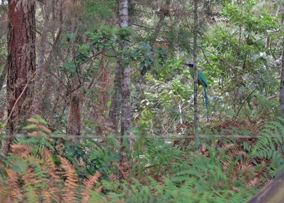 Barranquero bird in Parque Arvi trees