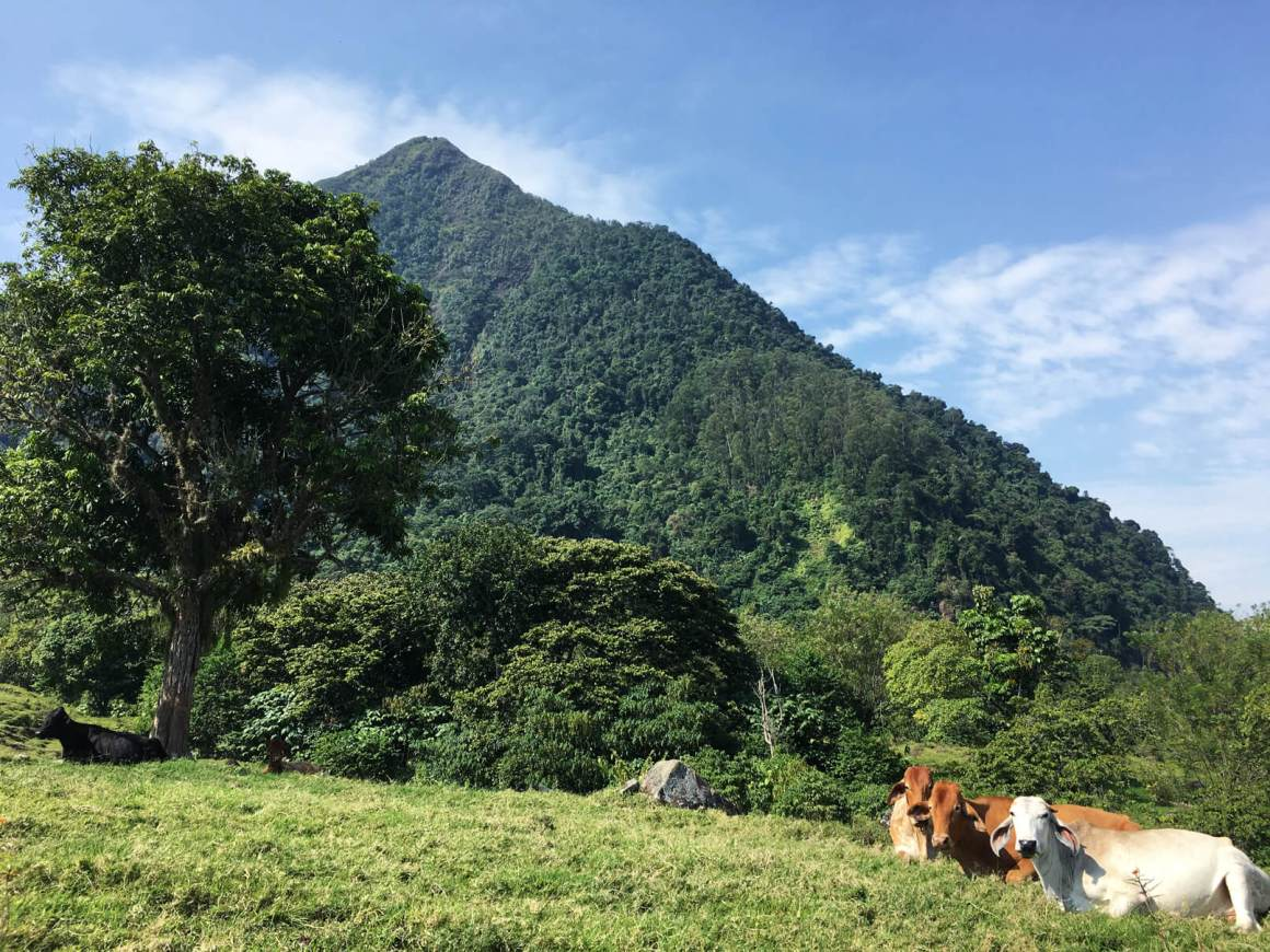 Cows Cerro Tusa venecia