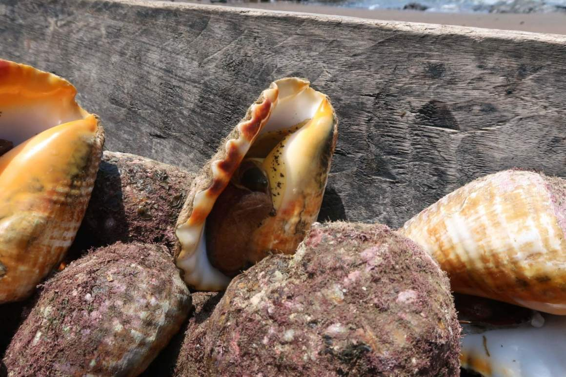 cambute conch shells on the beach at cascadas el tigre waterfalls in bahia solano