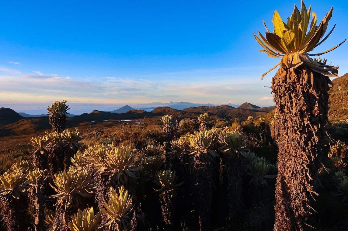 Frailejon with paramo and clouds in background