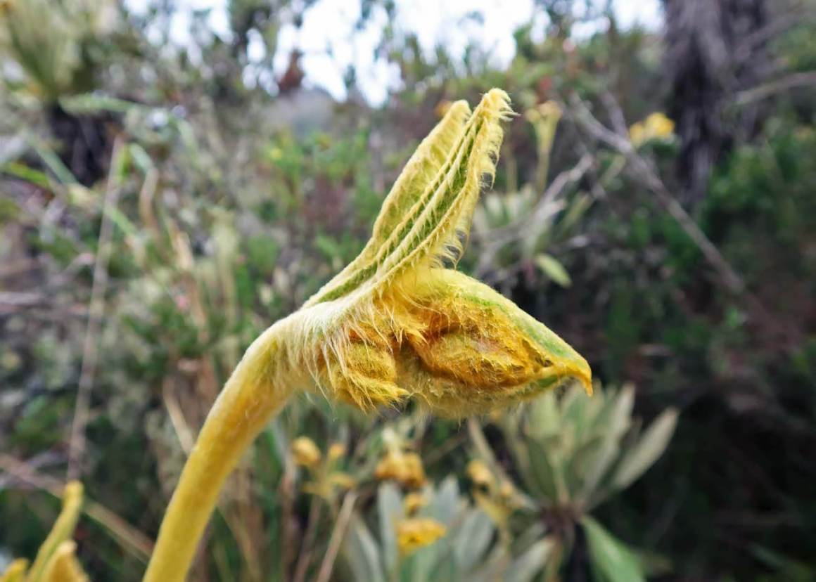 Close-up of frailejon flower