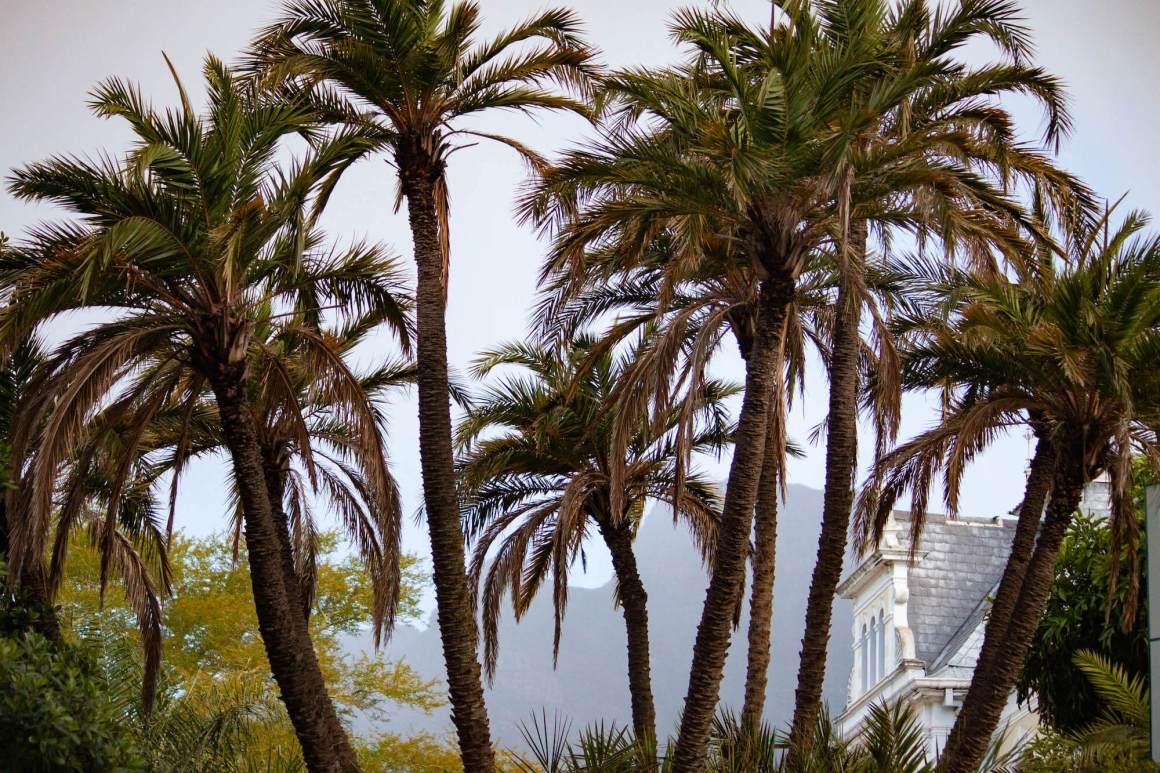 Palm trees of Company's Garden and rainy Table Mountain