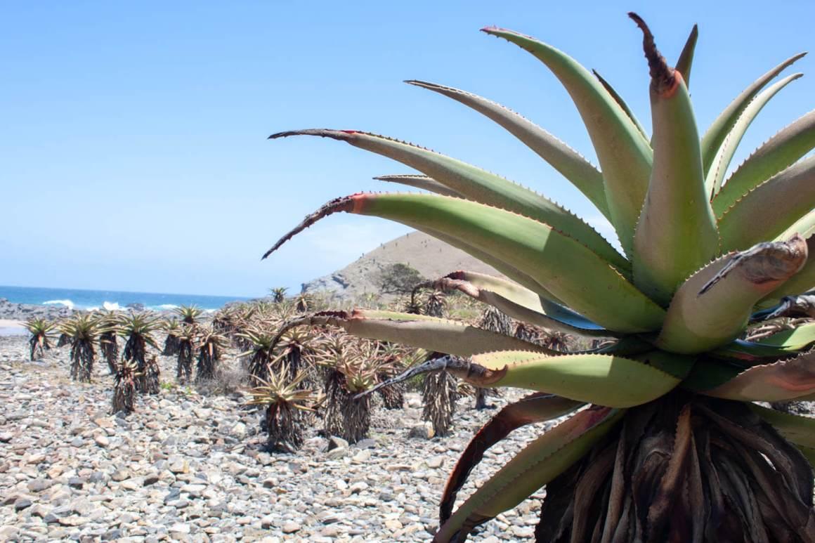 Aloe plants on the beach