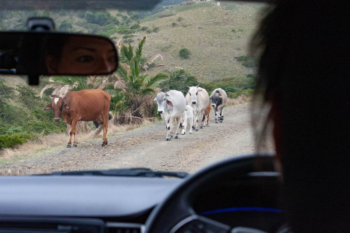 Kim driving with cows in the way