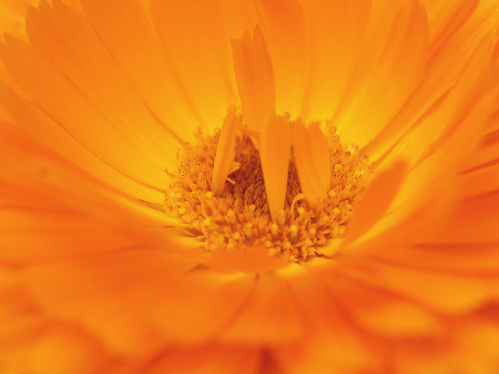 a peek at calendula