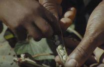 Examining the peas.