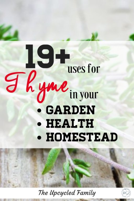 Thyme is one amazing plant, versatile and powerful from a garden companion plant to a powerful healing herb. Time benefits and uses are many from a natural antibiotic to a strong natural way to repel pests. Check out the many ways to use thyme. #thyme #plant #benefits #tea #uses #growing #essentialoil #herb