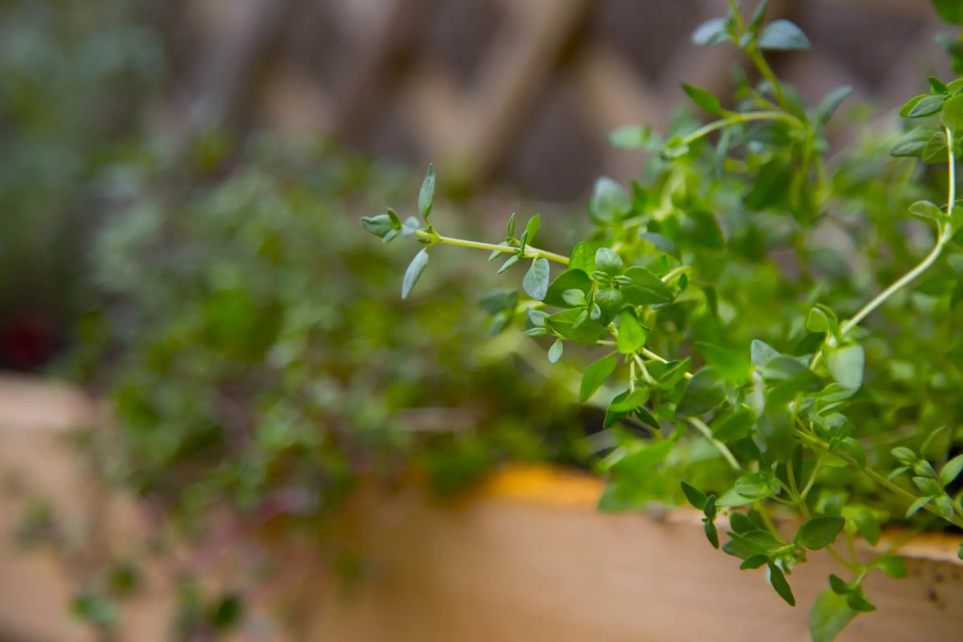 thyme benefits and uses