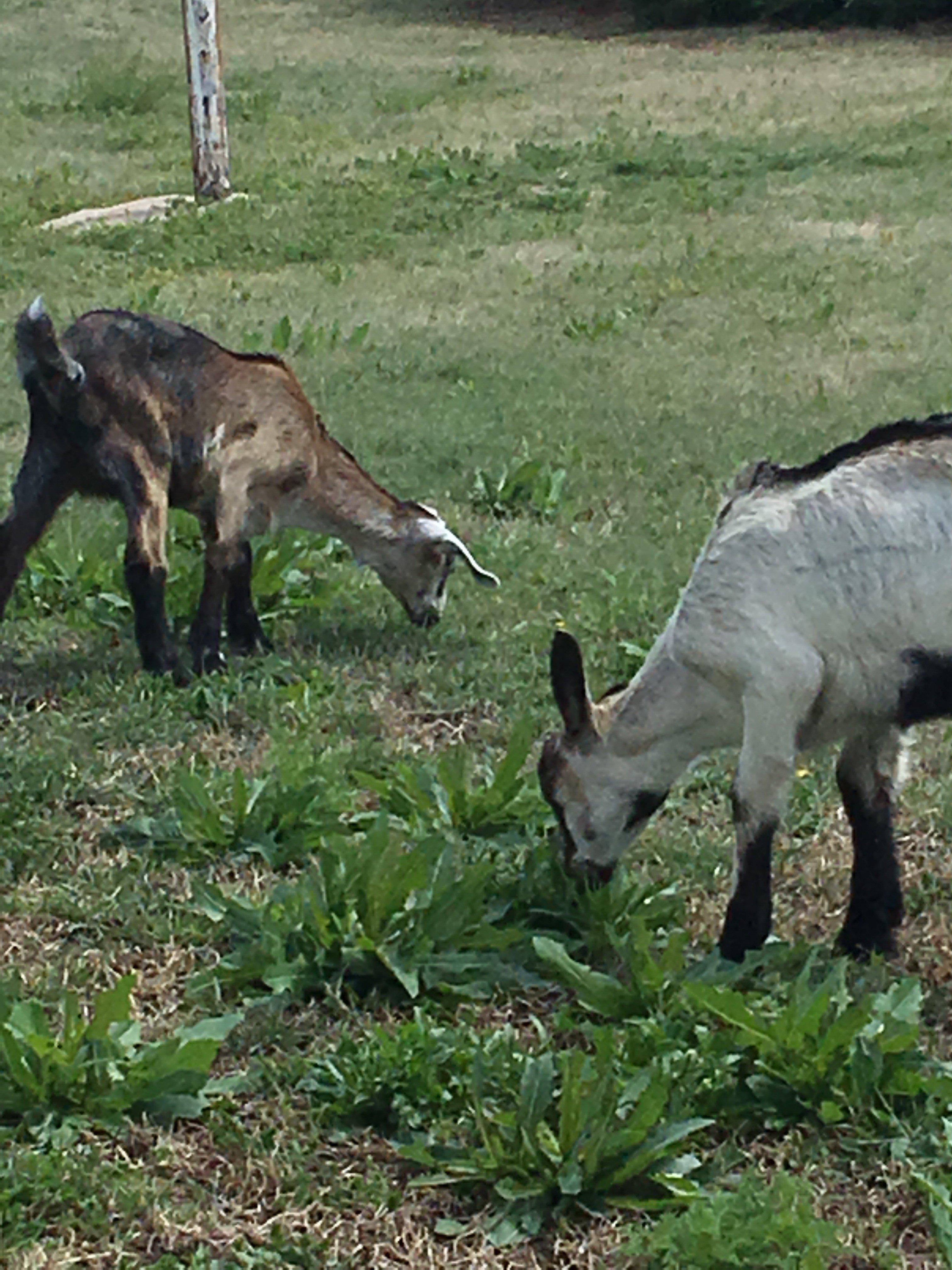 Milk goat kids