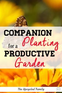 Want to know what to plant to give your garden that supercharging boost? Here are 8 amazing companion planting herbs that will boost everything else. From pest control to attracting pollinators. #companionplanting #vegetables #garden #herbs #tomatoes