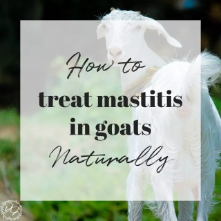 Healing mastitis (clogged/ infected milk duct) in goats. The go-to guide you need on how to treat mastitis in goats naturally. This simple method can save you big $$ as well as stress and the unnecessary use of antibiotics in your goats! #mastitis #naturalmastitistreatment #mastitisingoats #dairygoats #mastitisinanimals #mastitisremedy