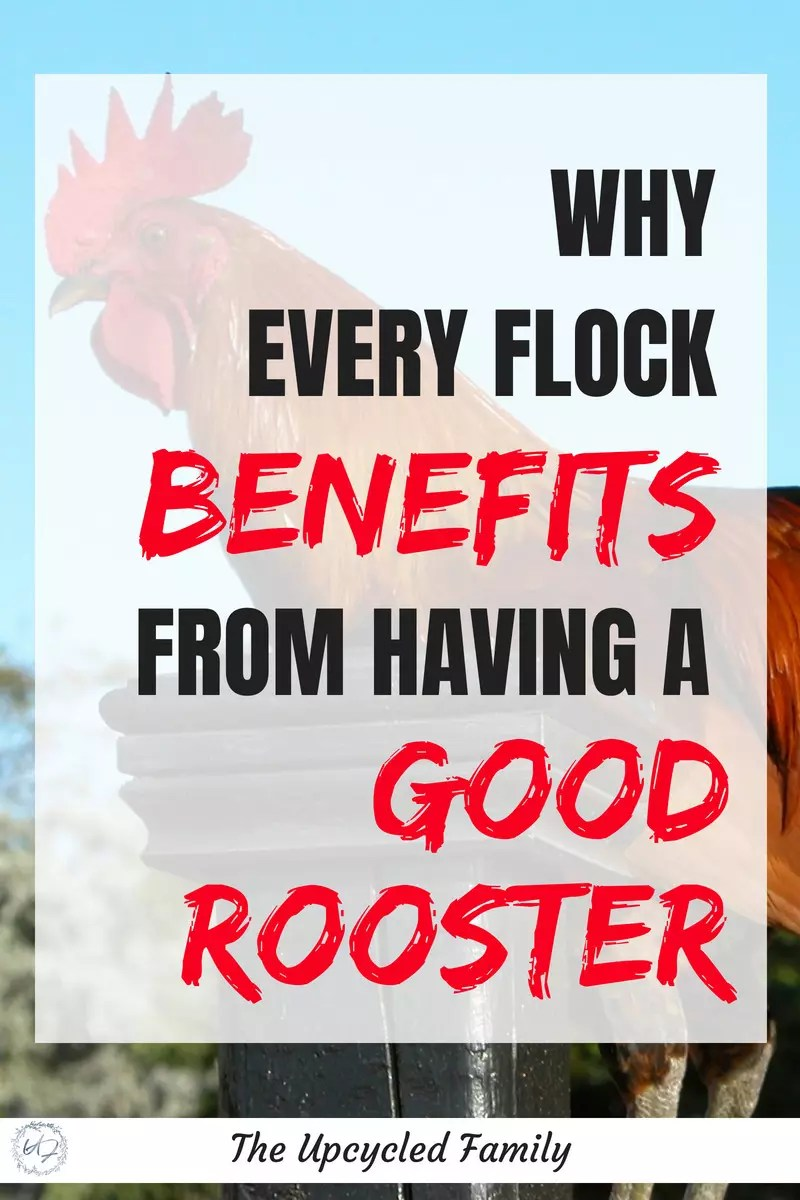 benefits of having a rooster