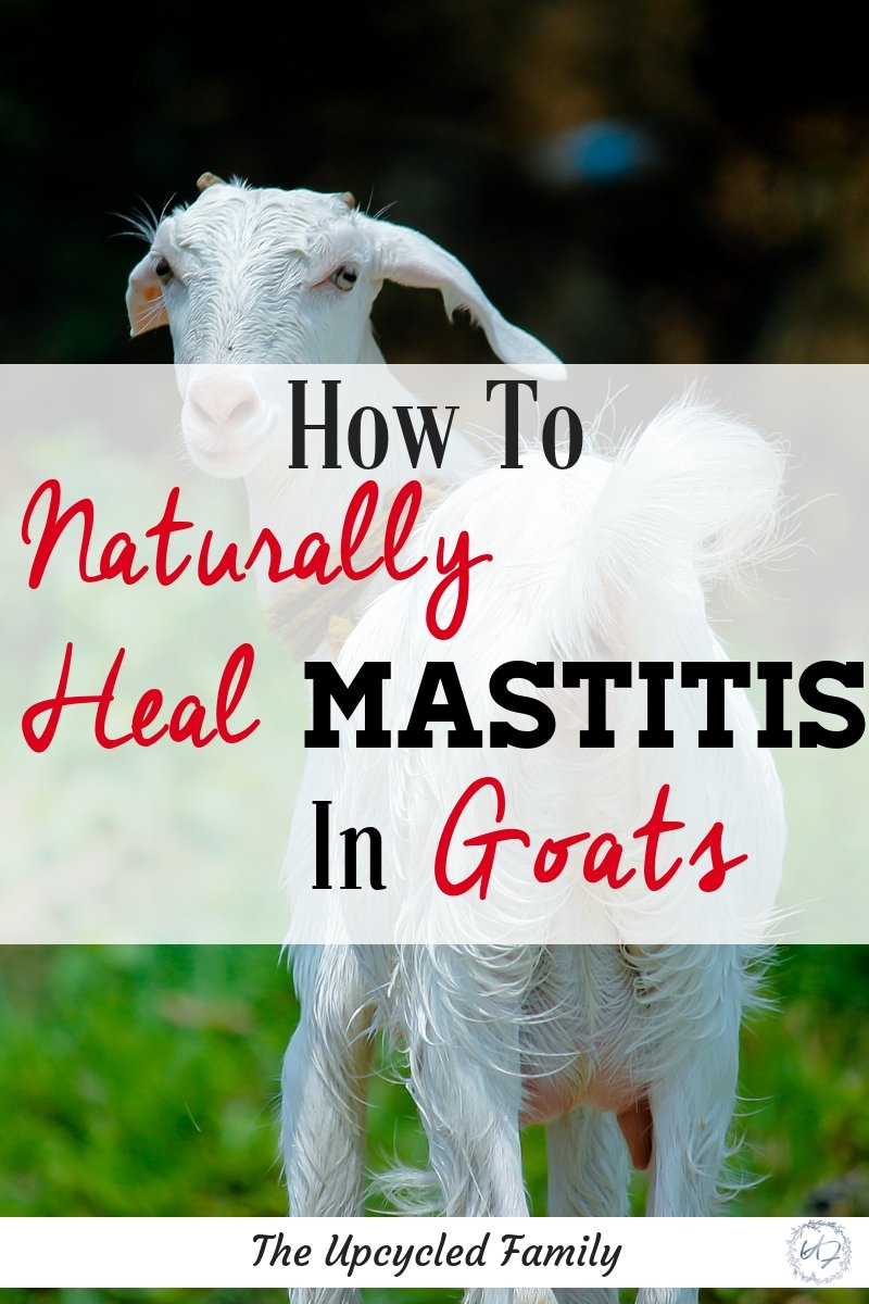 The simple solution how to treat mastitis in goats naturally