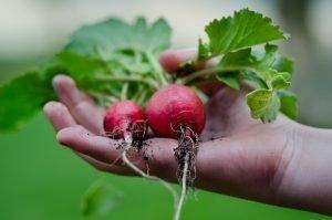 hand harvesting radish