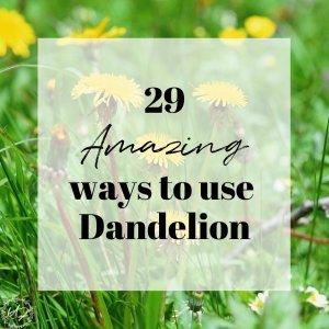 29 amazing ways to use dandelion