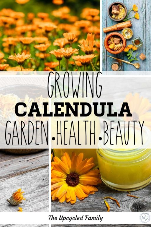Ever heard of calendula? Not sure what it is or why you should grow it? Calendula benefits & uses are almost limitless. What is calendula and why you want this amazing flowering herb in your garden or flower beds! #benefits #uses #flower #herbs #health #natural