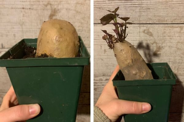 growing sweet potato slips in soil