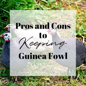pros and cons to keeping guinea fowl