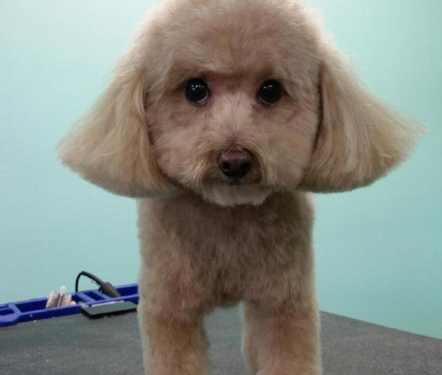 Chloe Toy Poodle After_