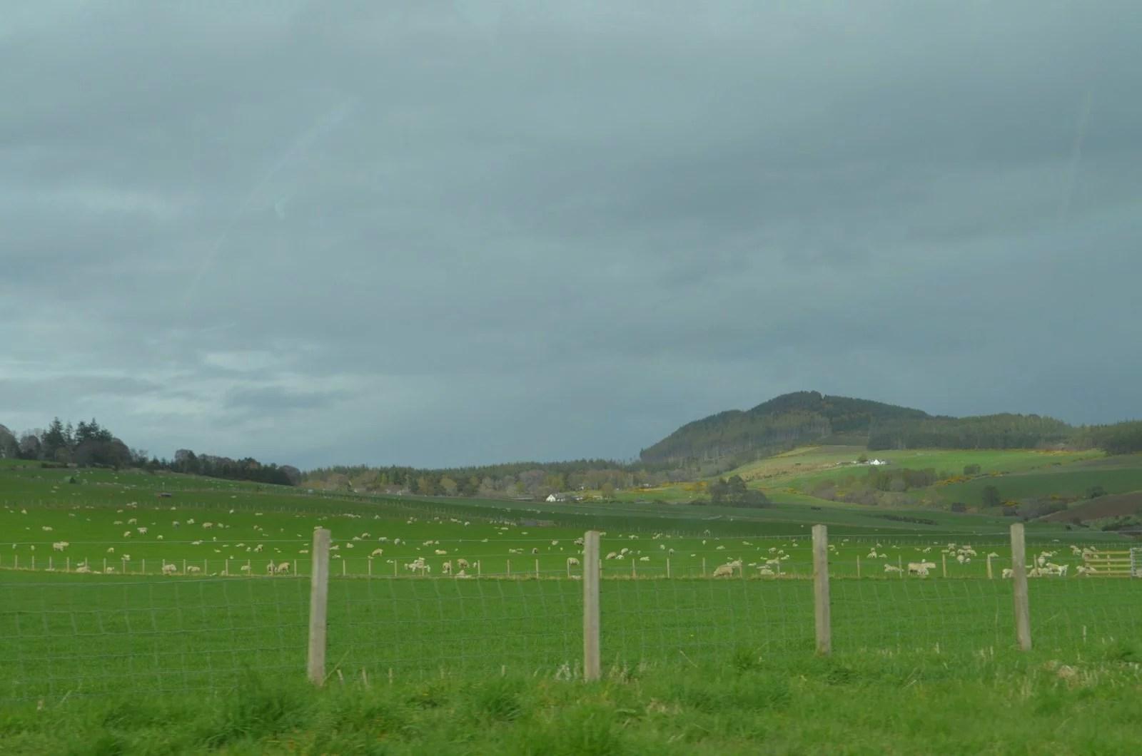 Scotland Highlands sheep