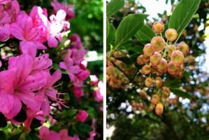 Rohododendron flowers in the Dunham Massey garden