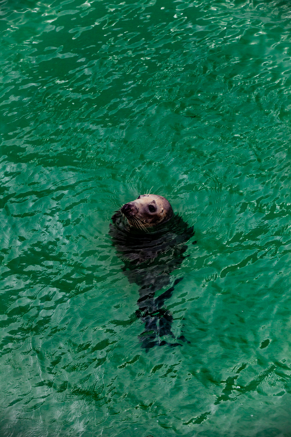 seal in harbour at St Ives