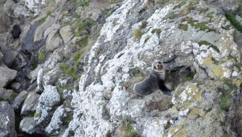 Baby Seal, Otago Peninsula, Dunedin