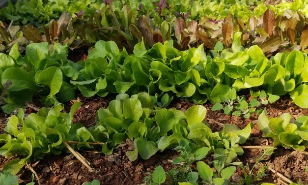 WNC Lettuce Landrace Breeding Project