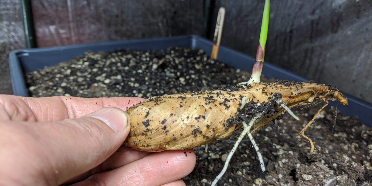 Experimental Farm Notes April 2020 – Tuberous Tropical Perennials
