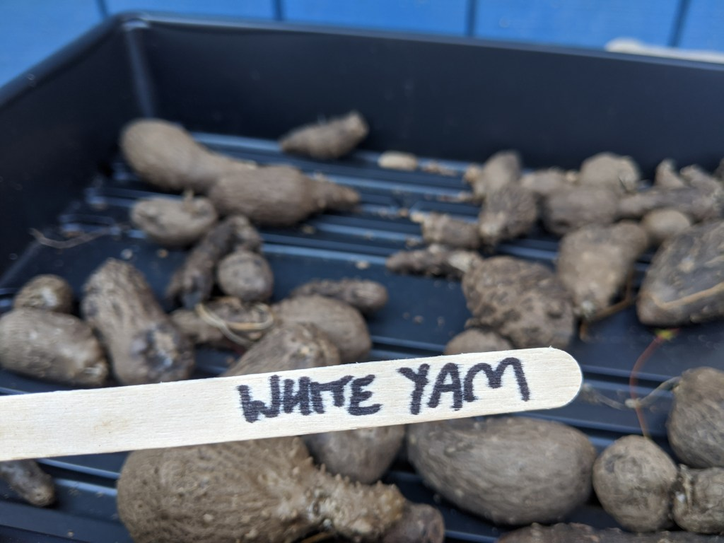 White Yam Dioscorea Alata