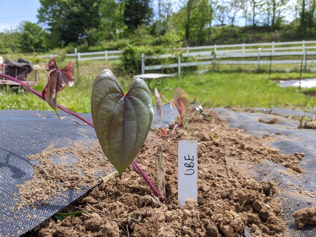 Ube, true yam, dioscorea alata - in the ground