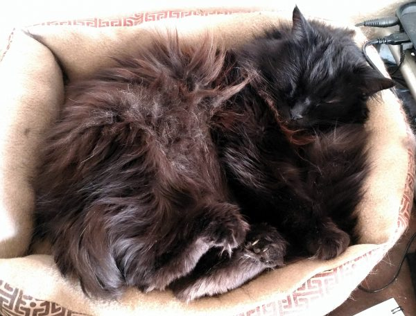 Hades, a longhaired black cat, is curled up on his side in a cat bed. Because, apparently, of Reasons, he's holding his hind legs out a bit & all of his toes are curled up tight.