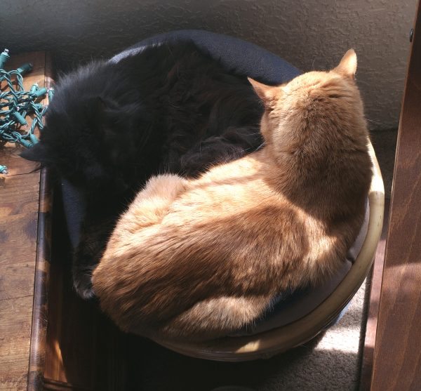 Loiosh & Hades are curled up together in a round cat bed in the sun. They're almost, but not quite, doing the yin yang cat thing.