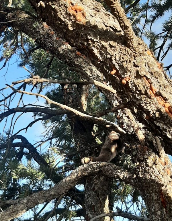 A view up into the branches of a pinyon pine tree; blue sky is visible behind it. Just below the center of the photo, Tom's paw is visible, resting on a branch, with a bit of the rest of his leg stretching up to the right. The rest of him is behind the treetrunk.