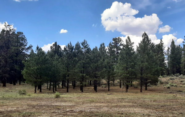 From across another meadow, a grove of evergreens, all about the same size, & smaller than the ones around them.