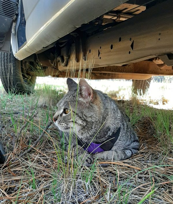 Major Tom, a big grey tabby wearing a purple harness, is laying in the grass under the van, gazing contemplatively off into the distance.